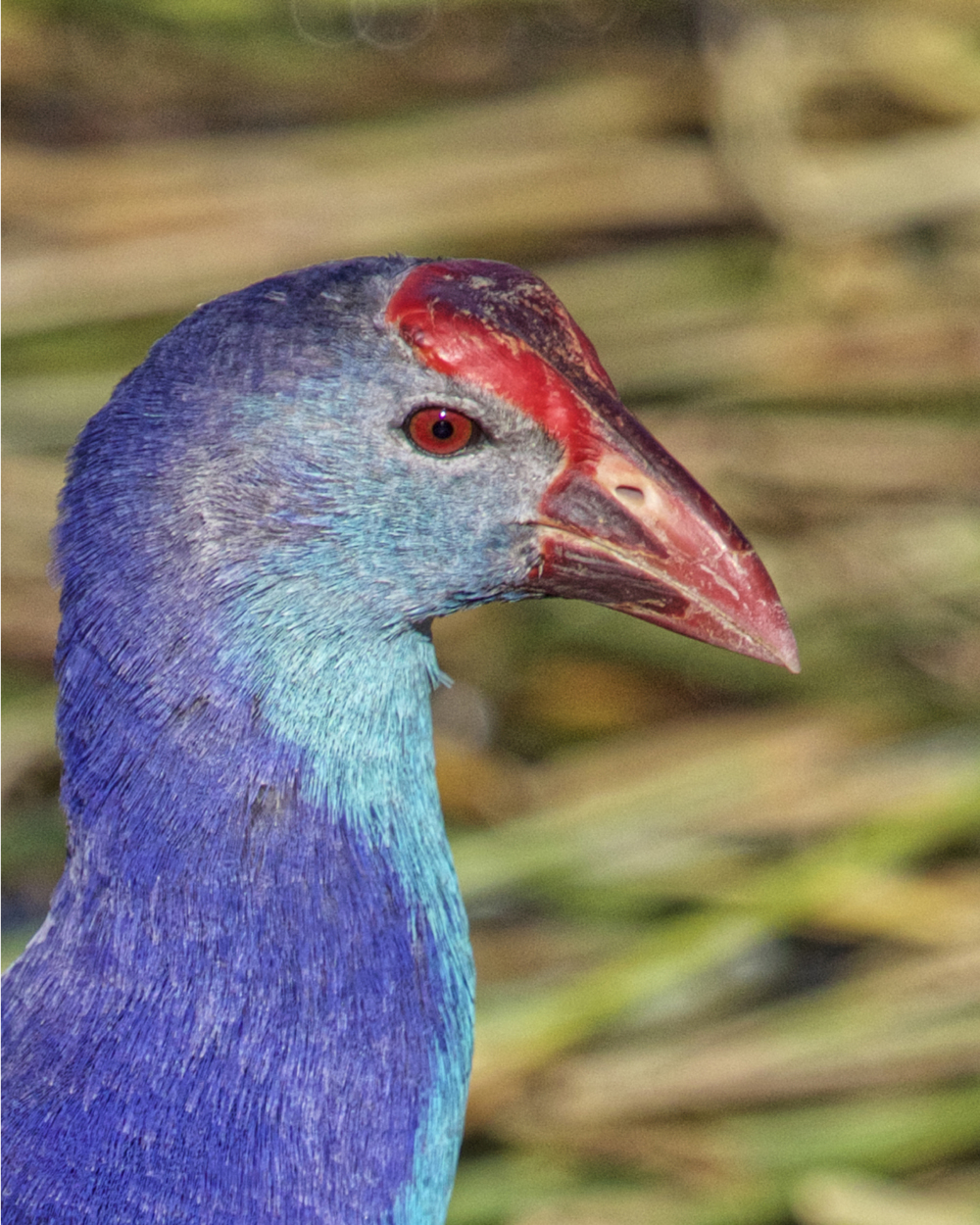 Often mistaken for a Purple Gallinule, the Purple Swamphen is also a member of the rail family.