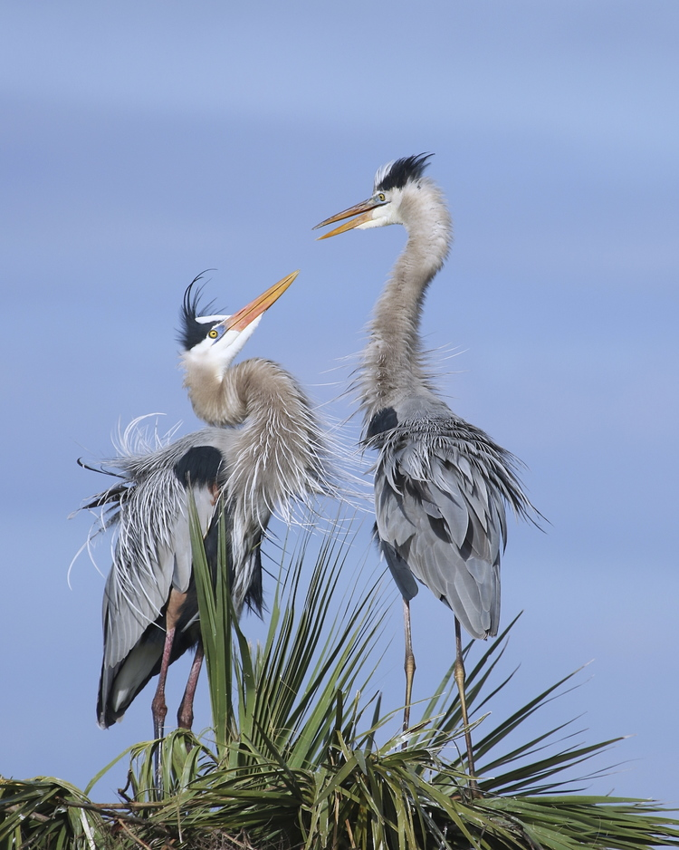 Gus and Greta, the Great Blue Herons stole our hearts in February at the wetlands..
