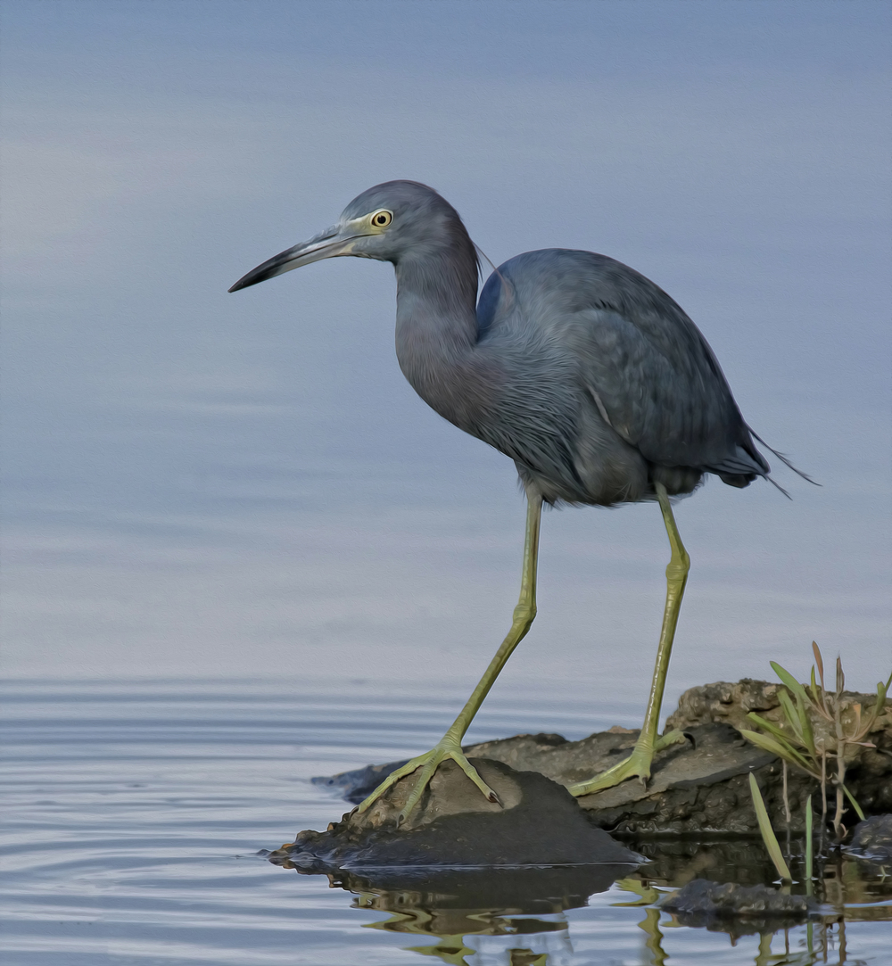 Broward Bob, a Little Blue Heron gave me lots of photo opportunities in September..