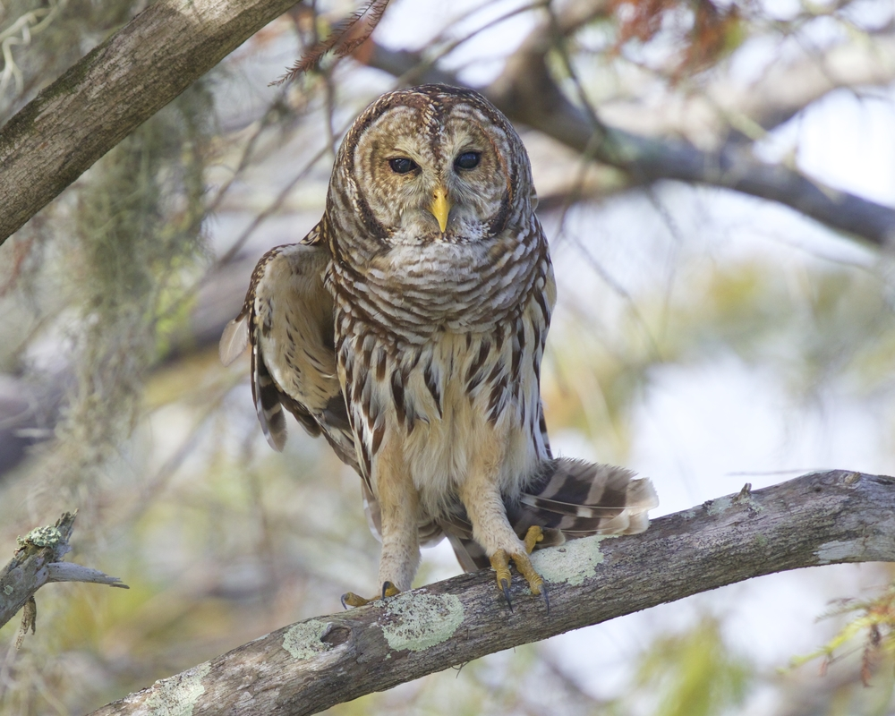 "October brought a Happy ""Owl-O-Ween"" with this Barred Owl capture."