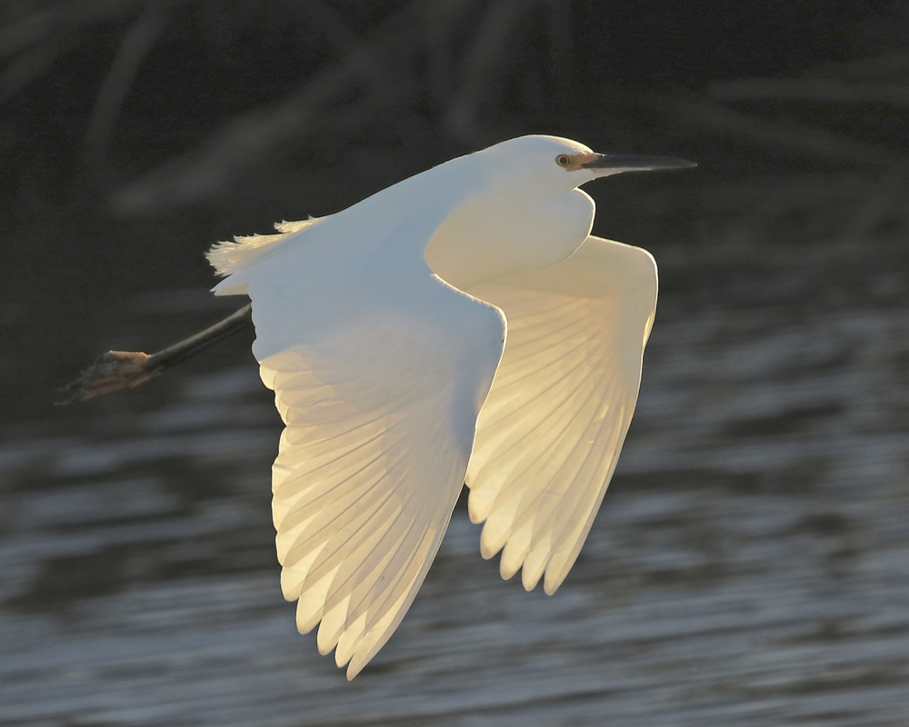 We closed the year 2015 with this Viewbug award winning winter photo of a Snowy Egret called Sunset Glow for December..the new challenge begins..