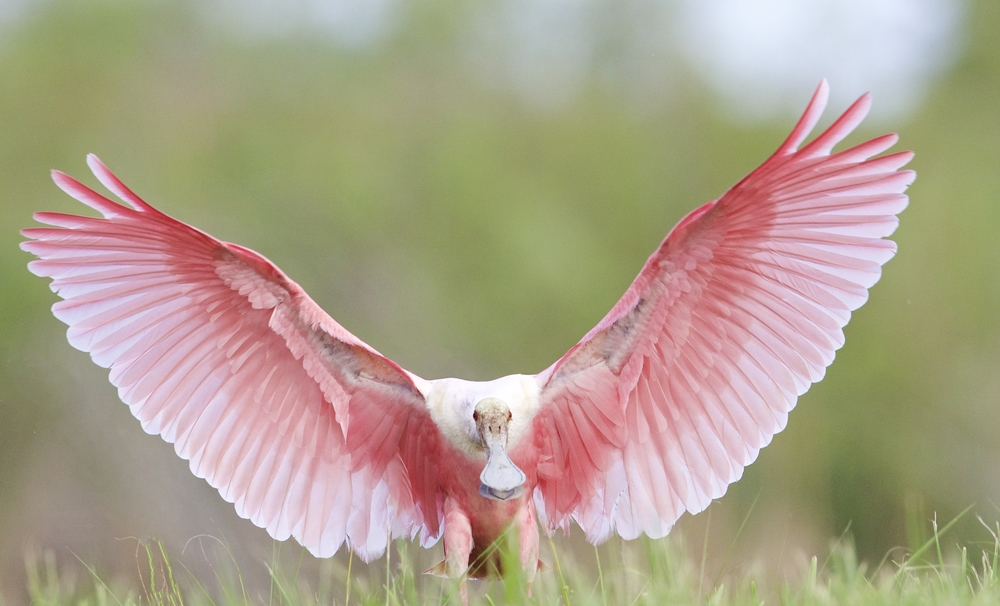 """Pink Angel Wings"" of this Roseate Spoonbill made an international contest selection for a Wildlife Conservation Society Calendar for 2016 also in June."