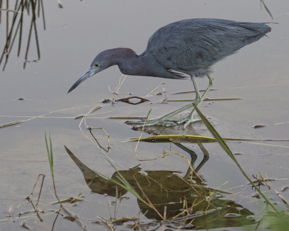 A Little Blue Heron hunts for minnows at the waters edge near my feet.