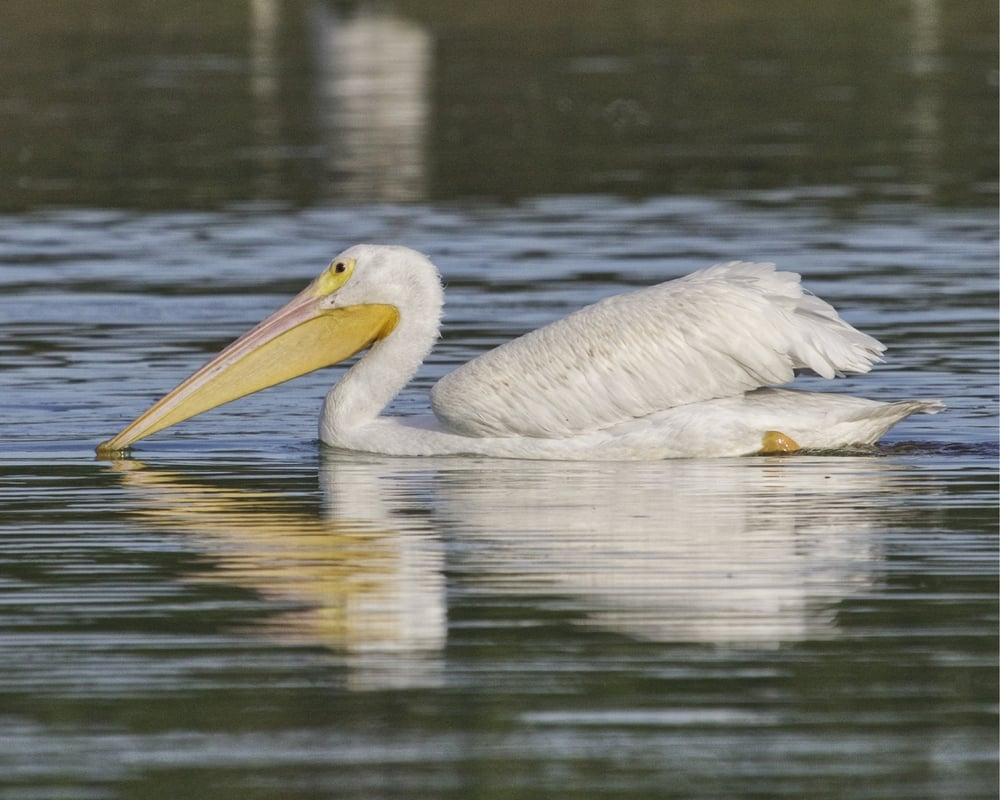 When this White Pelican drifted by I was not too worried..so peaceful..