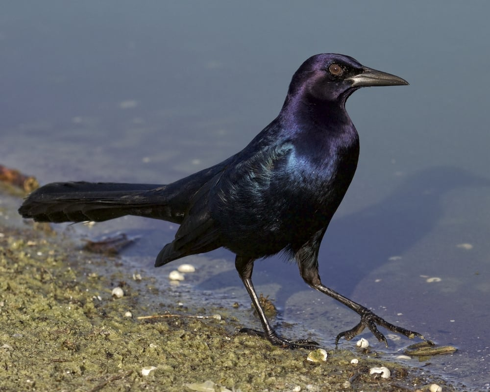 All was well until this Boat-tailed Grackle decided to peck at my feet..