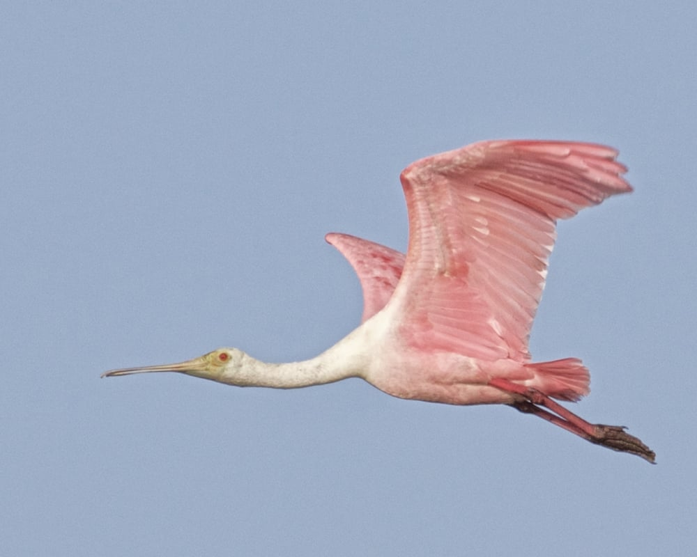 I then decided to head back to the other ponds as did this Roseate Spoonbill.