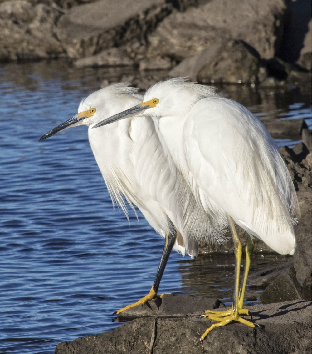 Double Trouble in the form of two Snowy Egrets waiting for the tide to turn and feed...