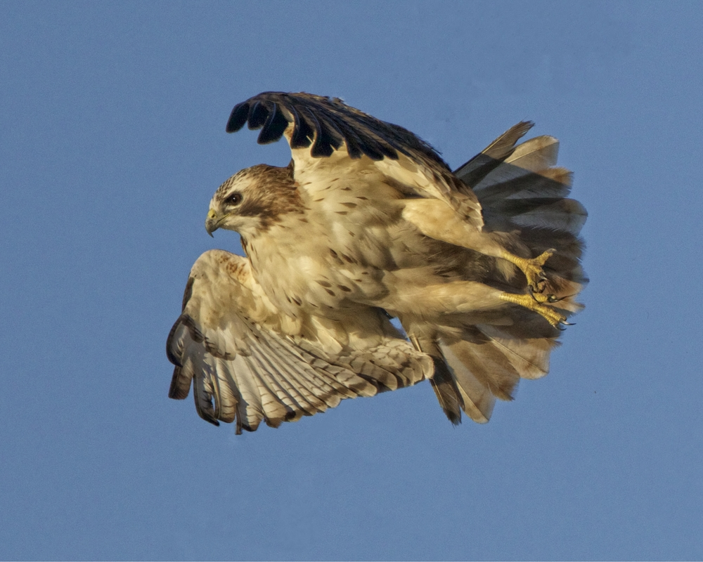 One of the many Red-tailed Hawks we saw...lifting off..