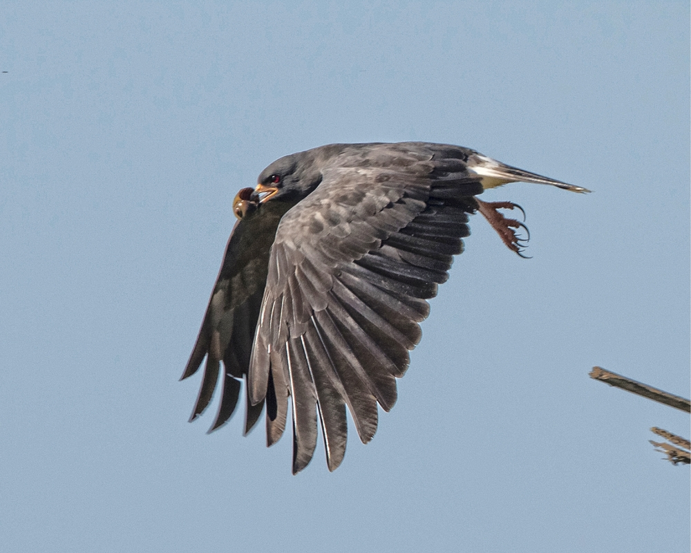 Snail Kite male in flight with apple snail snack..