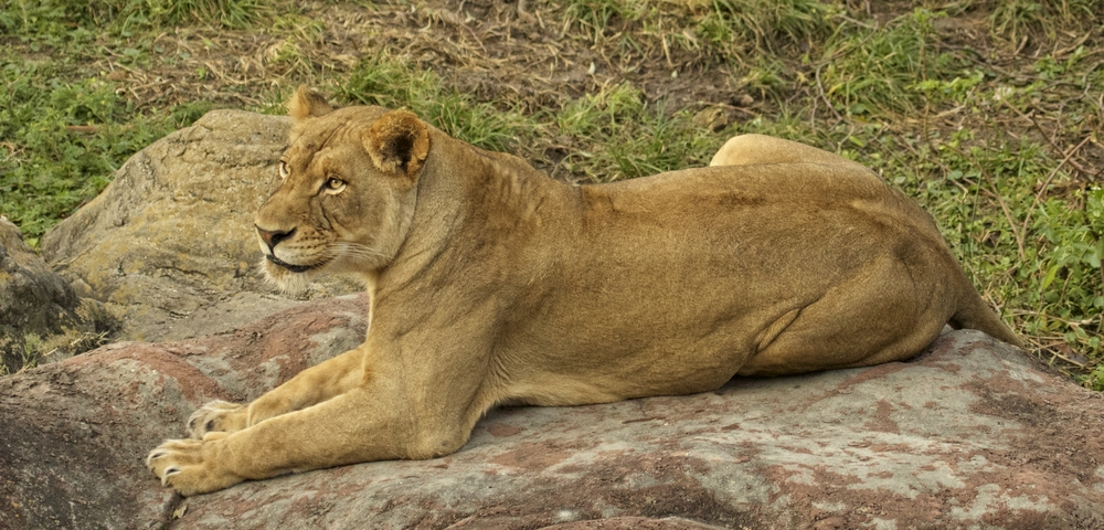 This lioness, like my Editor is resting more comfortably right now..