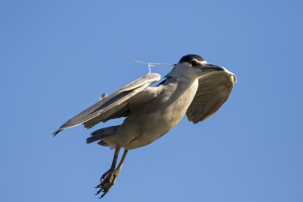 Filling the Frame..this poor scared Black Crowned Night Heron almost landed on me before realizing it
