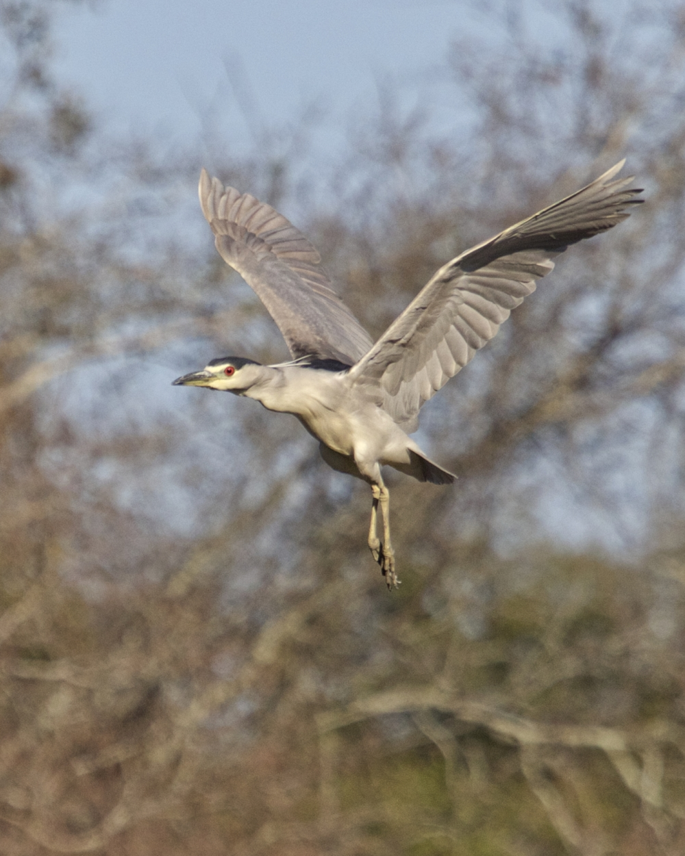 With the coast clear the herons returned to the safety of their tree one by one..