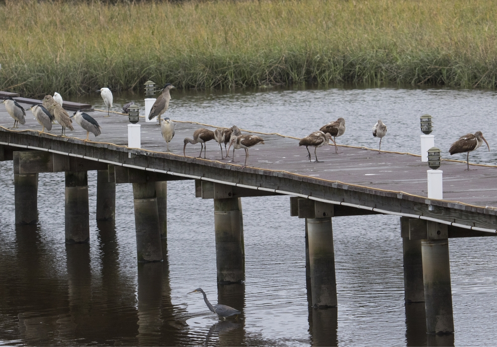 The marsh birds are lined up on the dock waiting for the tide to turn for breakfast
