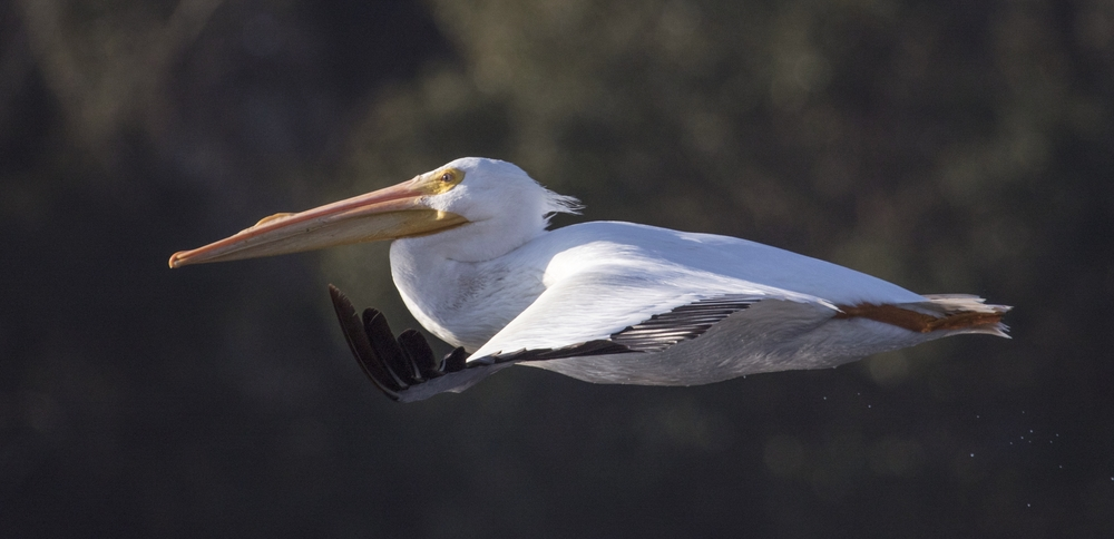 Another male White Pelican with its Breeding sail on the beak flies by my Wavewalk Kayak..