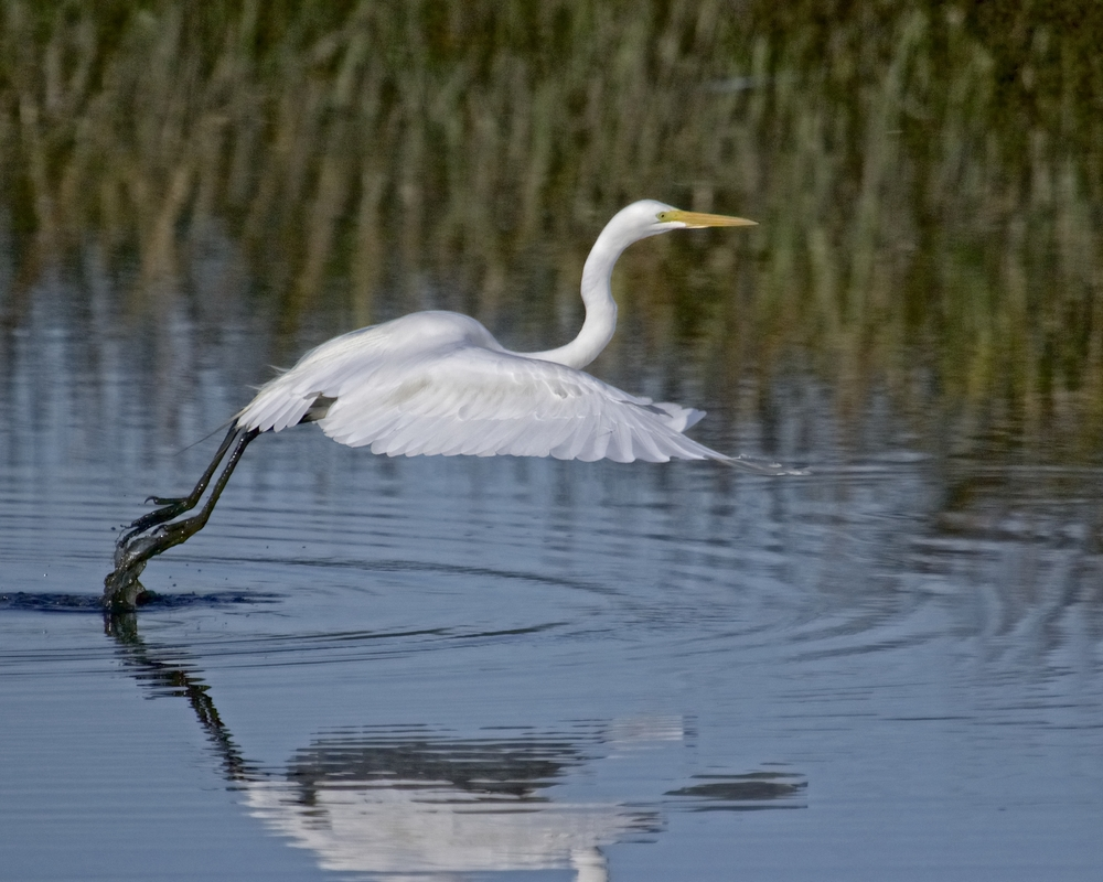 The Great Egret can't wait to see the new dock project..