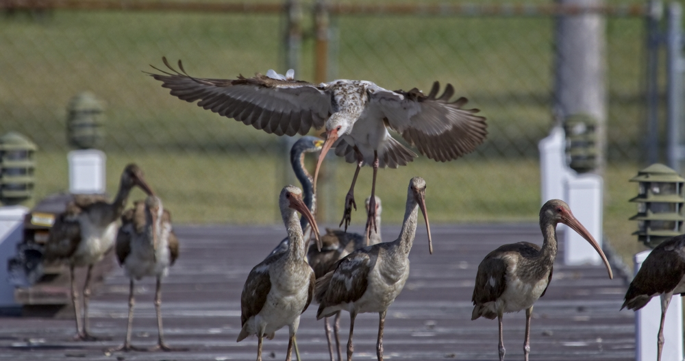 Suddenly the young Ibis fly on to the dock and chase the other birds away..