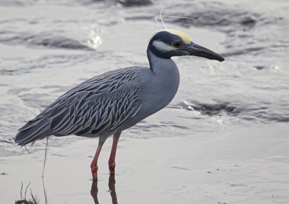 Handsome George, the Yellow Crowned Night Heron is back looking for crabs..