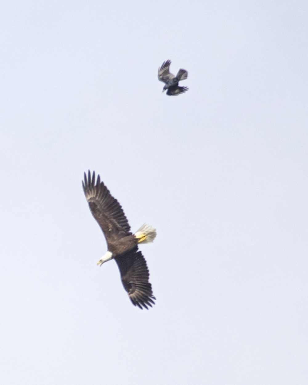 A pesky crow escorts the Bald Eagle across the Broward..