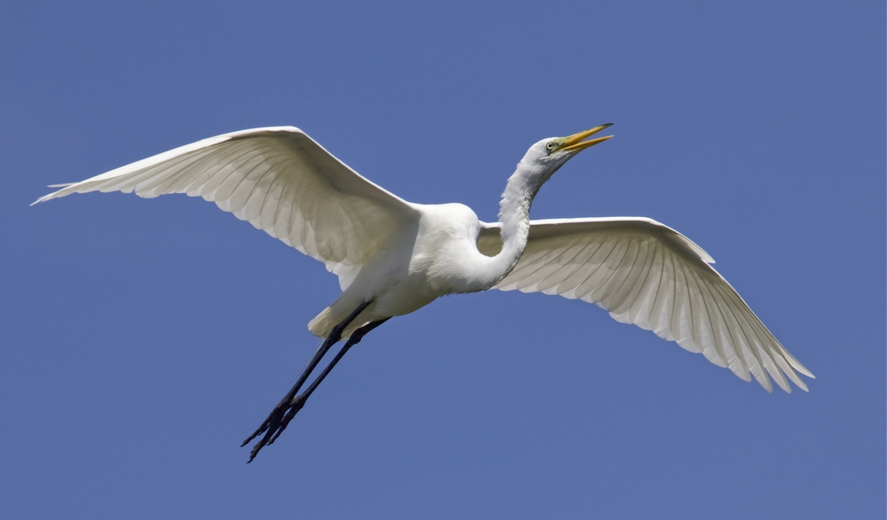 Great Egret returning to the nests calls to its mate..