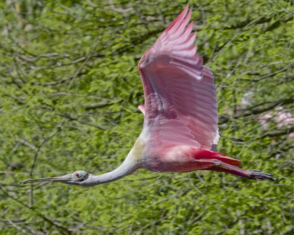 Spoonbill in flight...gotta get some food for the young ones..