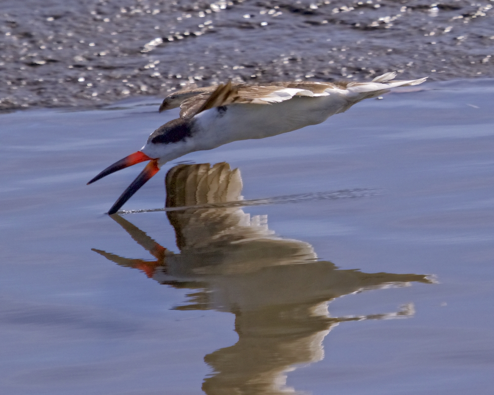 Black Skimmers make a short visit to the Broward..