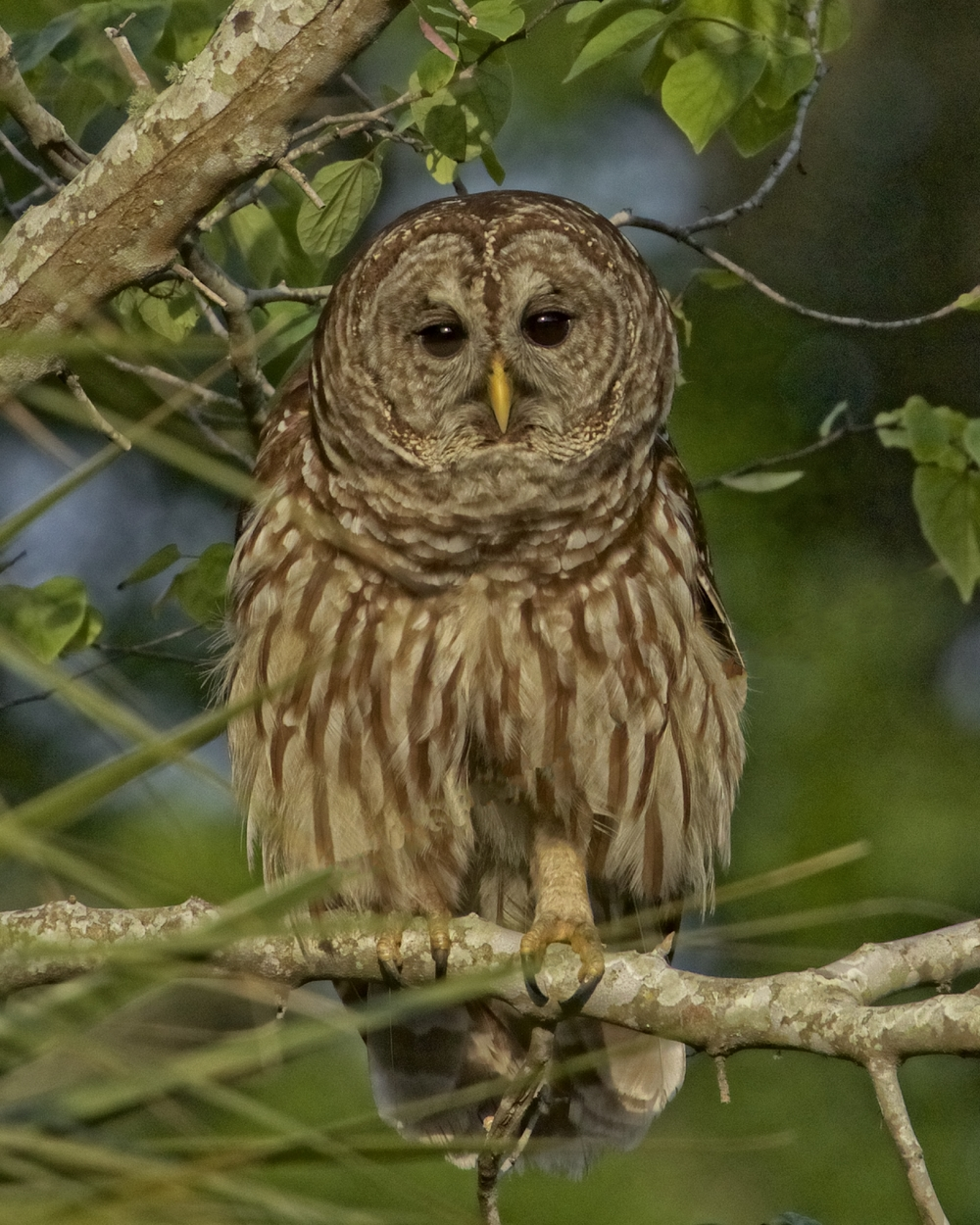 """The App"" worked. Our local Barred Owl flies in to see ""Why Dey is"" that is intruding on it's territory."