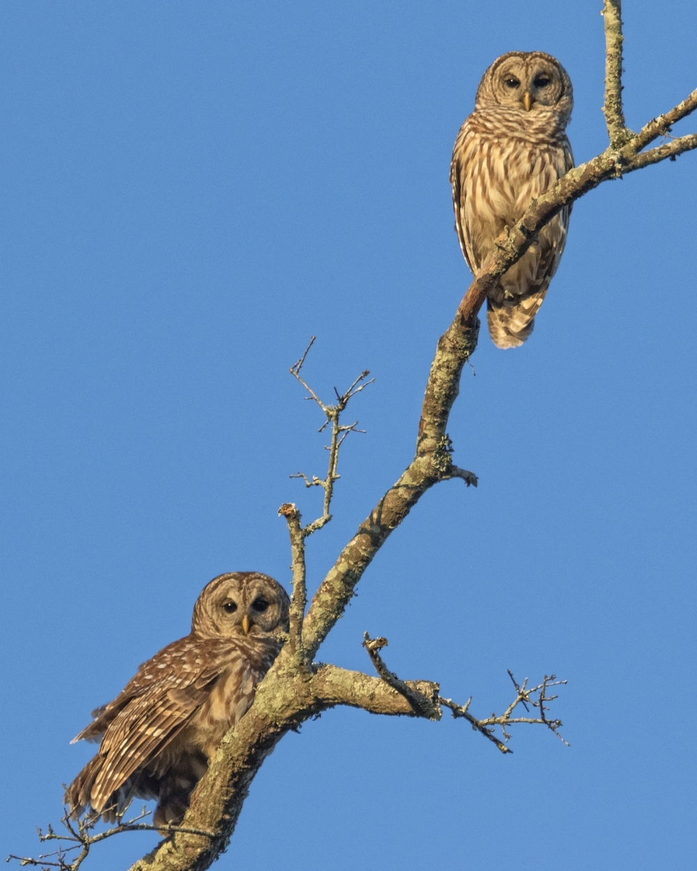 I call the Editor and set up the speaker in the front yard. Soon our pair of Barred Owls is starring down at us.