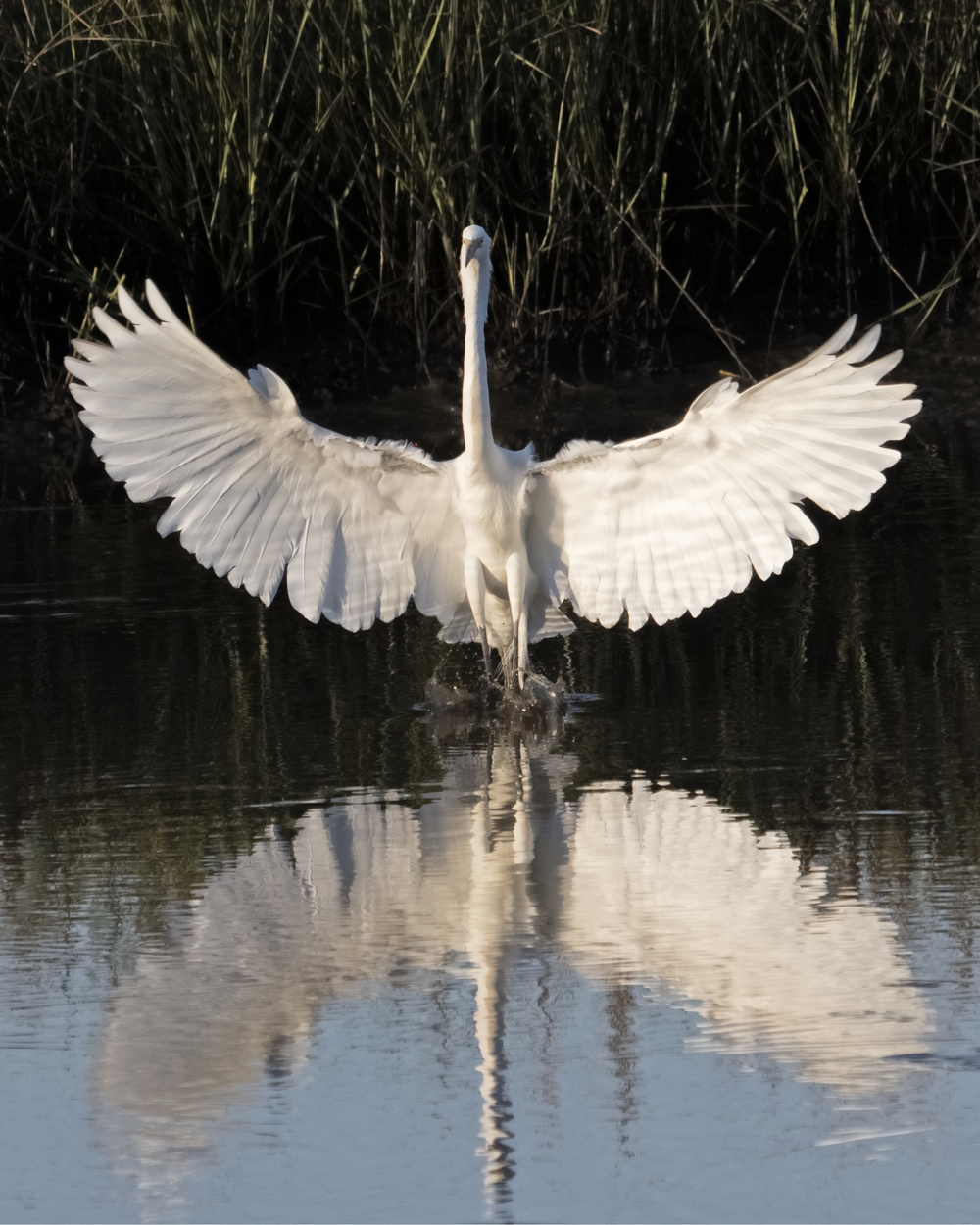 Spread your wings..A Great Egret lands in the shallow outgoing tidal flats..