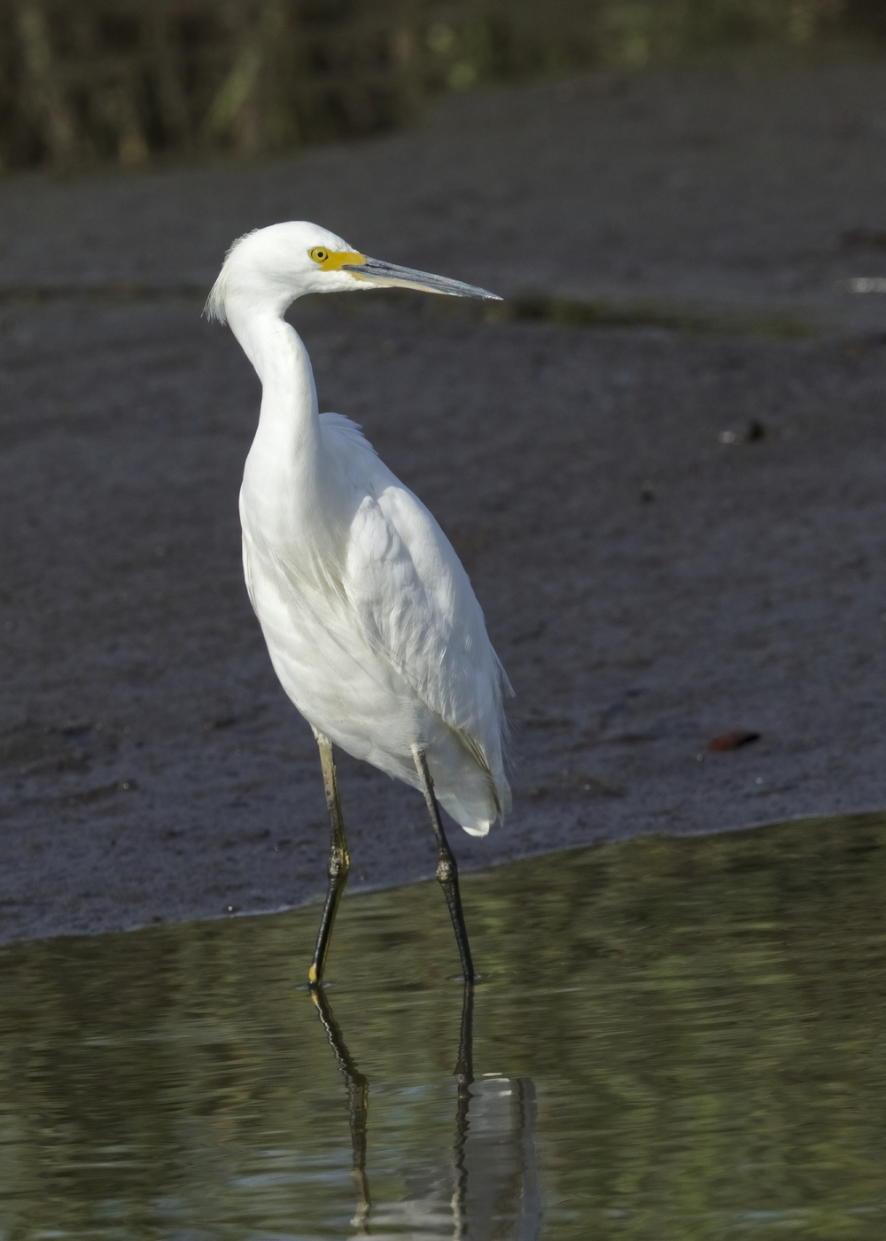 "We still have some ""Snow"" on the Broward. Snowy Egrets that is.."