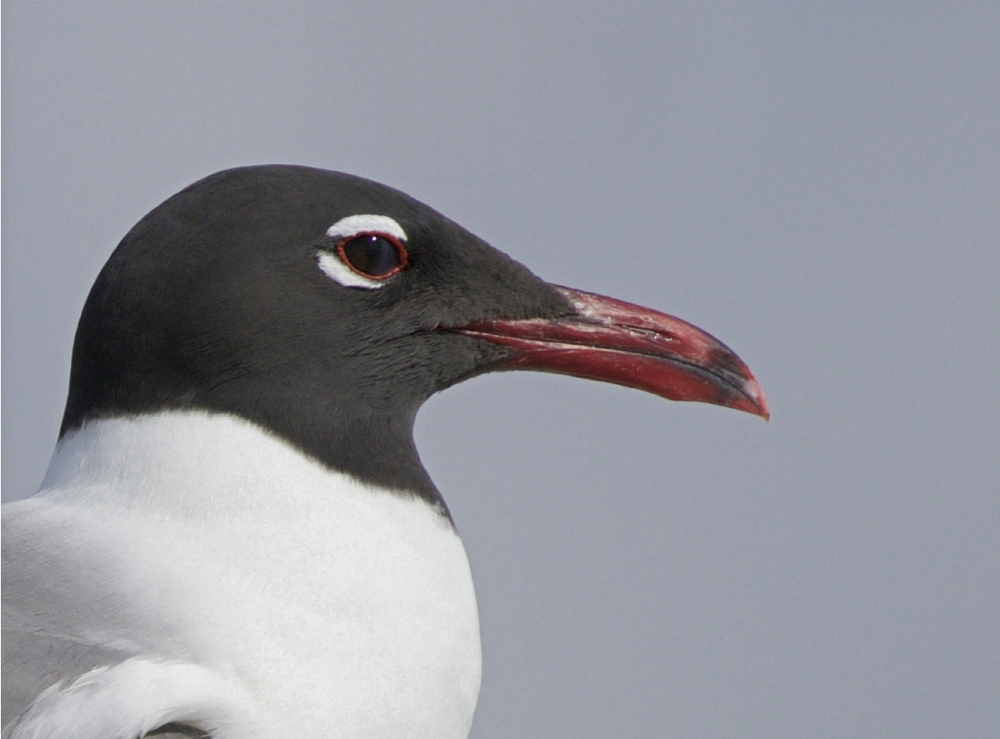 Laughing Gull profile during breeding season..note the white eye ring and dark hood, and red beak.