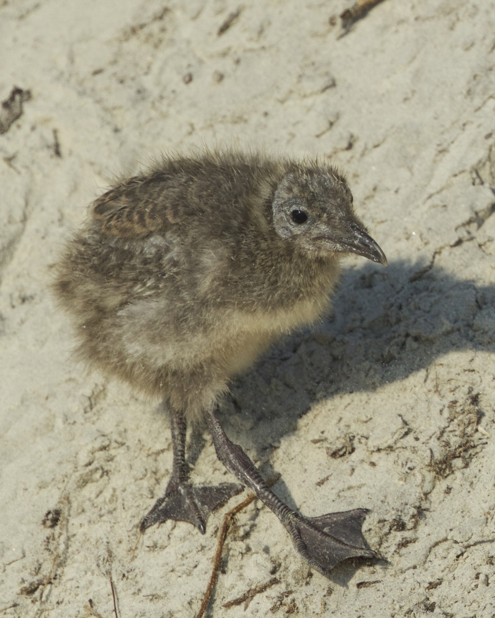 When the parents leave to find food often the chicks will climb down the dunes onto the beach and wait for food.