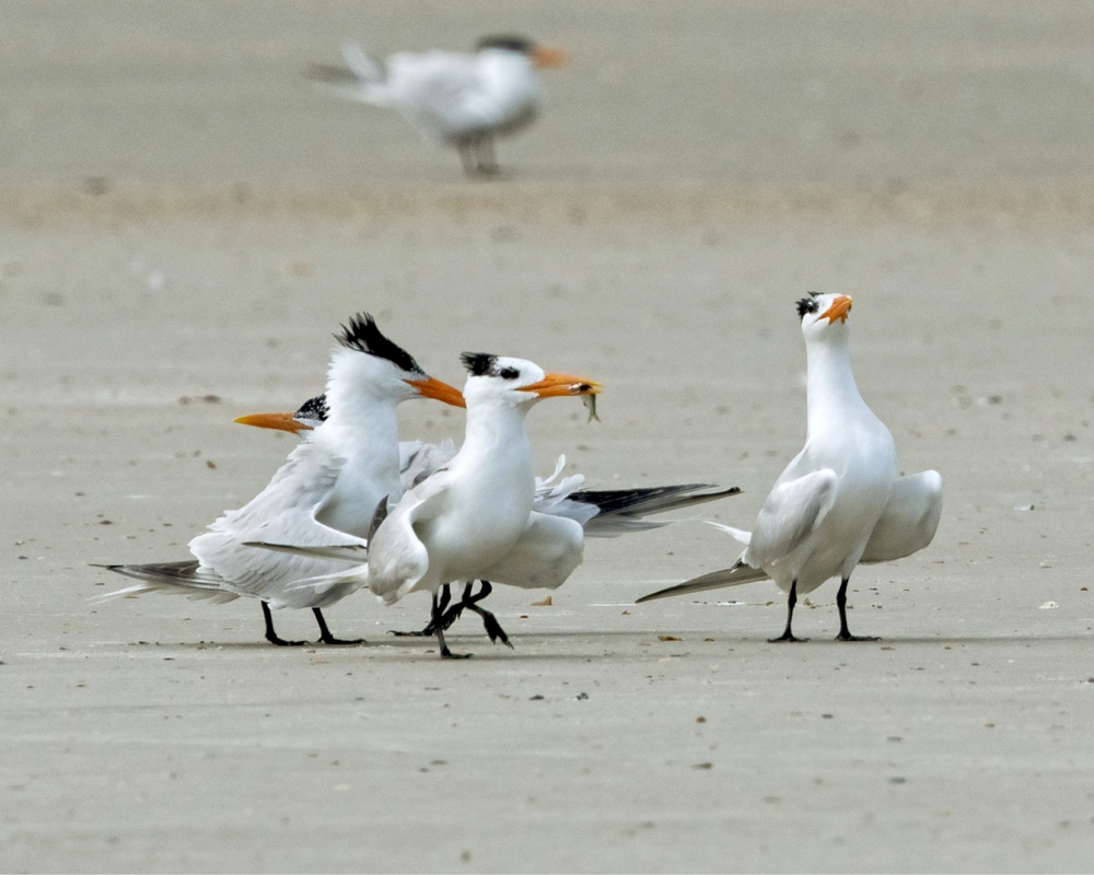 Wanna fish there good looking?...Royal Tern courtship display behavior looking for a mate.