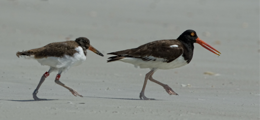 Momma don't you walk so fast..recently banded Oystercatcher chick and watchful parent
