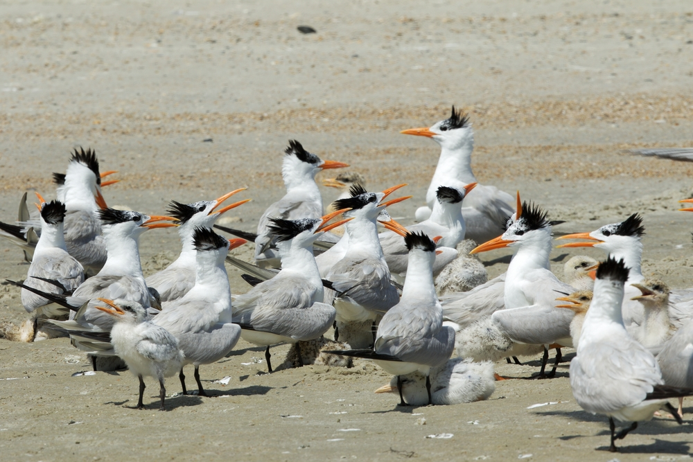 "Royal Terns and chicks gather in what is called a ""creche"" for protections.."