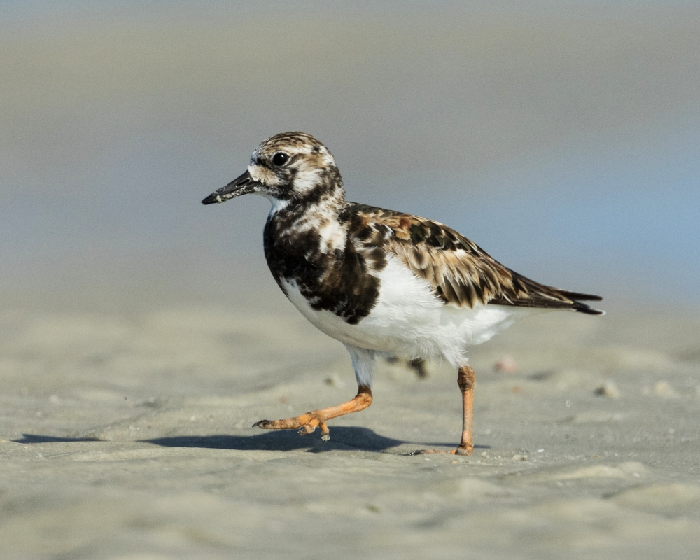 A Ruddy Turnstone looking for tidbits on the beach..