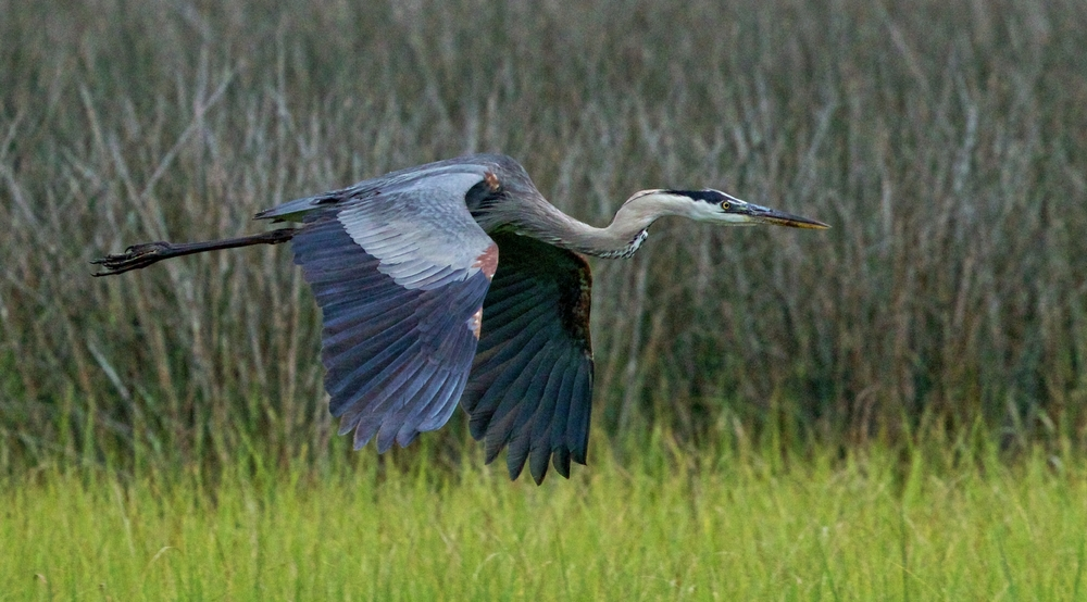 Old Man River, the Great Blue Heron fly by..