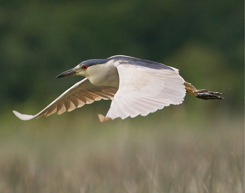 Black-crowned Night Heron fly by on a cloudy day..