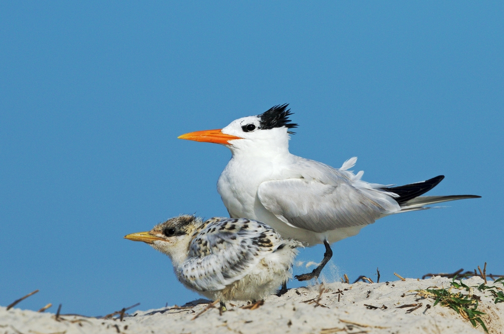 Royal Tern with downy chick await another meal...