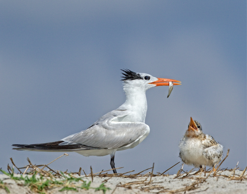 Ops..wrong chick..sorry kid....Royal Terns will only feed their own chicks..