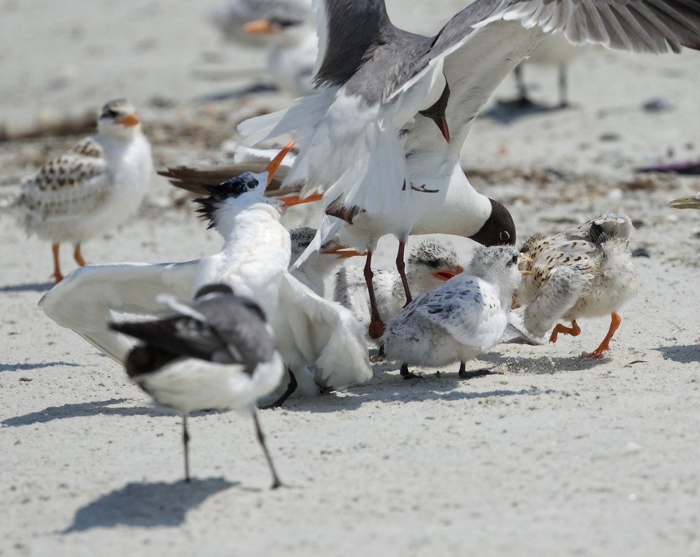 The Laughing Gulls take this opportunity to attack and steal the fish from the mouths of the Royal Chicks..