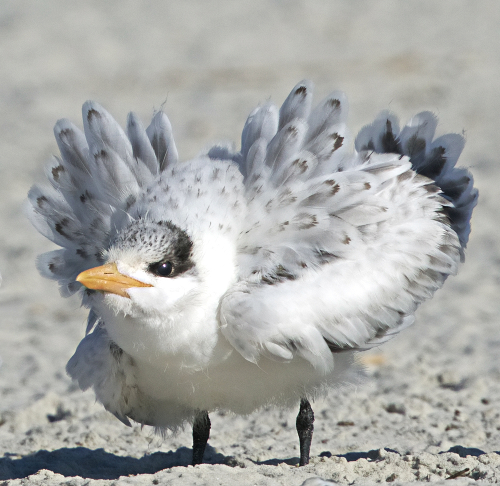 "I call this one ""Princess Charlotte"", the Royal Tern Downy Chick"