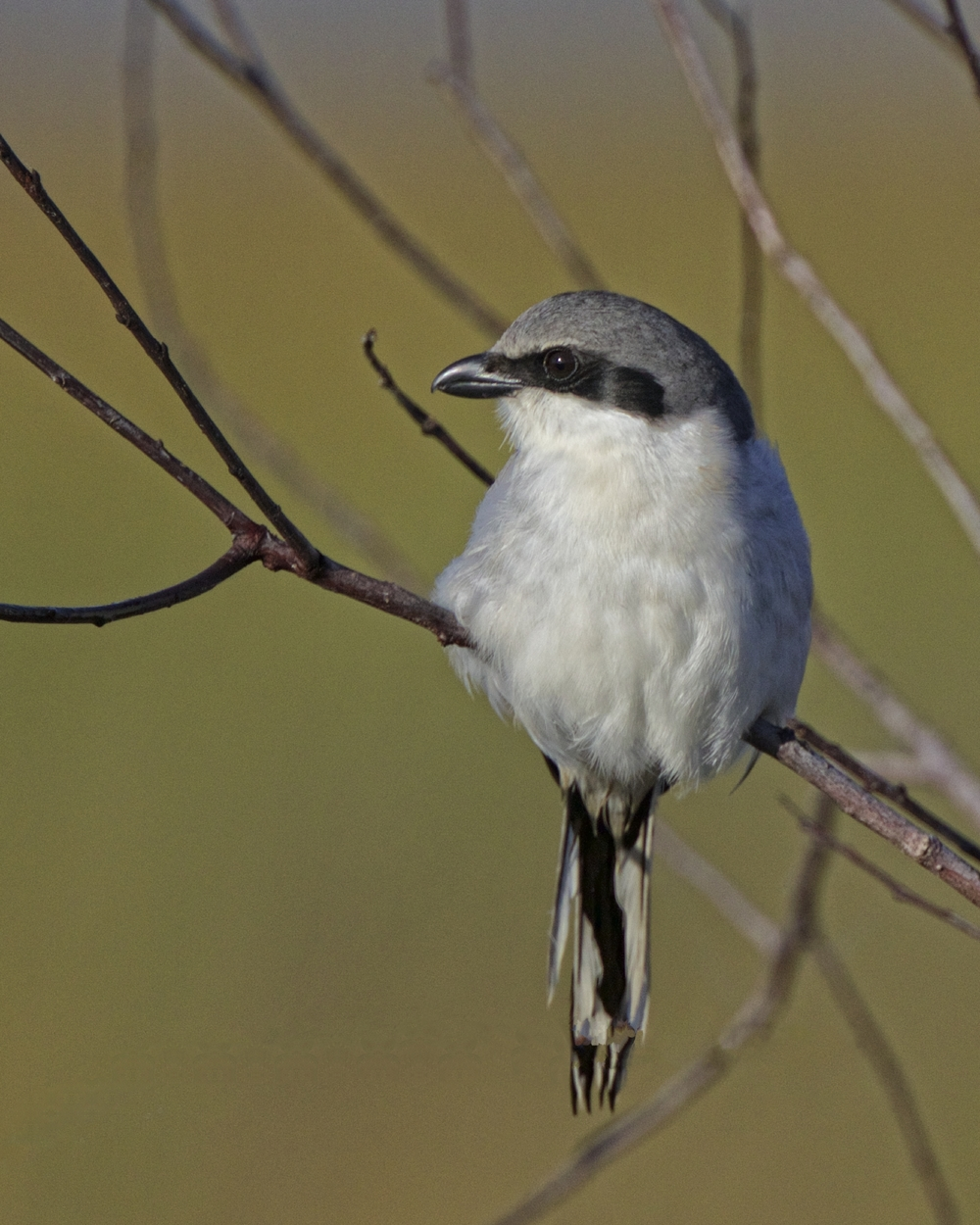 Loggerhead Shrike, one of the few known natural predators of the Lubber Grasshopper