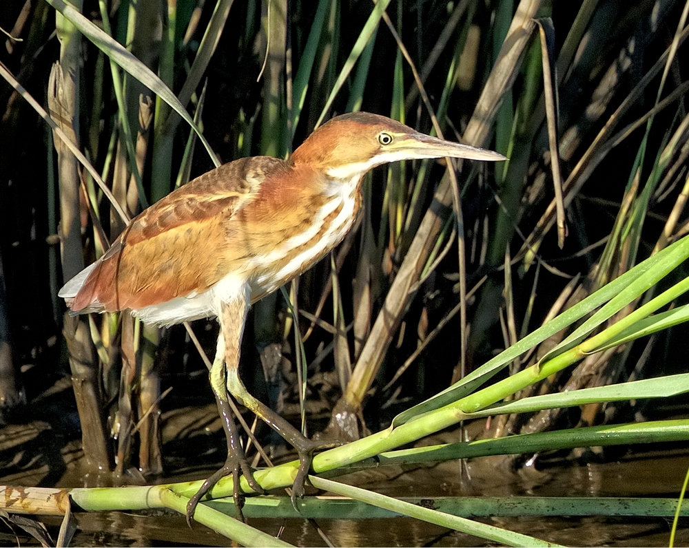 The furtive Least Bittern, a tiny Heron that is not often seen.