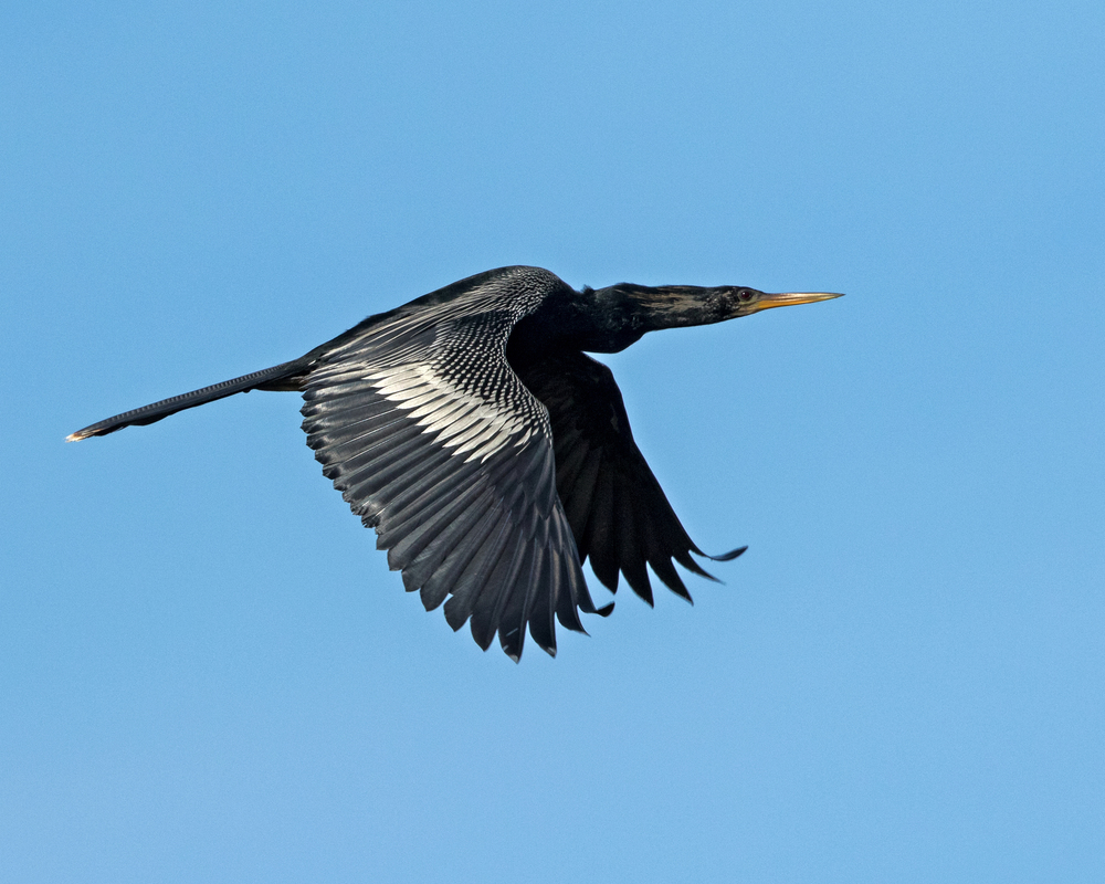 Anhinga (male) flyby..