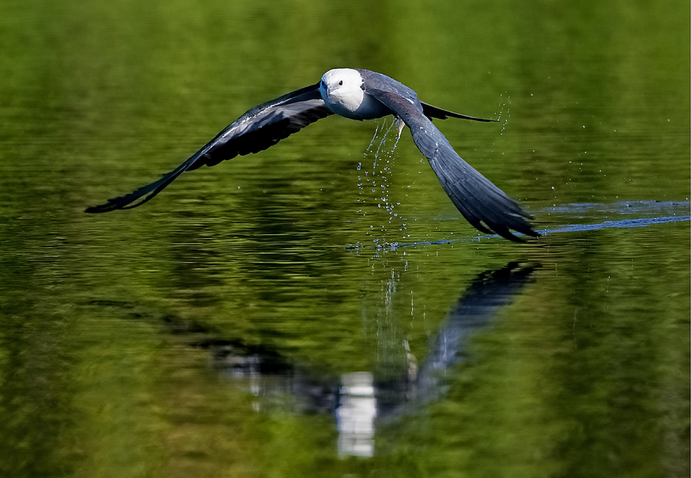 When the wind begins to ripple the waters, the Swallow-tailed Kites glide down from their roost to take a drink..