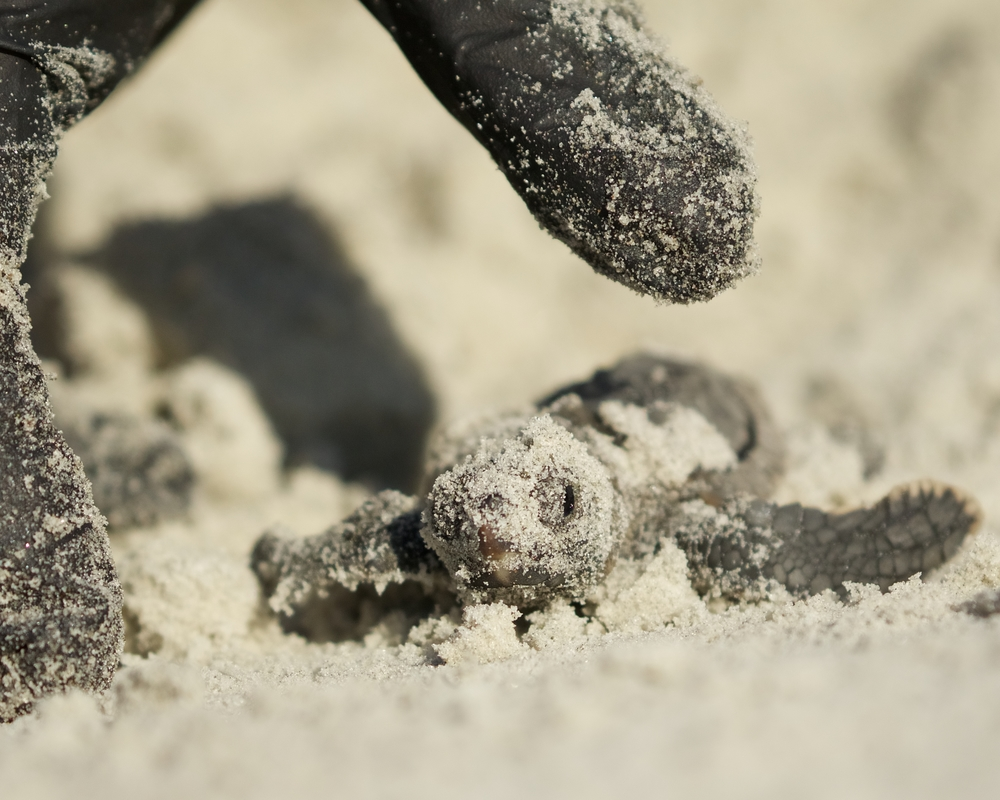 "One lucky survivor that I called ""Lucky Lucy"" was found in the nest excavation along with 116 Loggerhead shells that had hatched a few days prior."