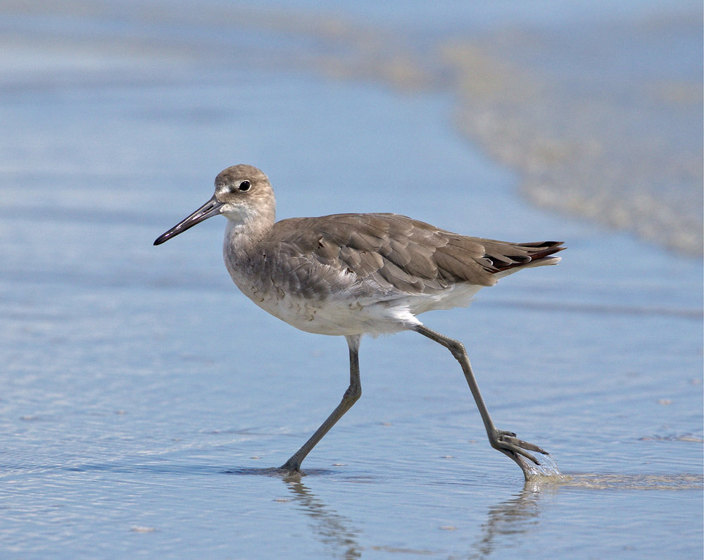 Willet on the run...Mr Doohickey, you are not going to get my pictures...