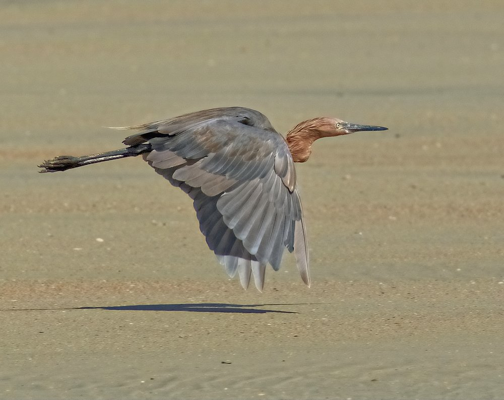 A Reddish Egret is spooked by some beachgoers...didn't get to see it dance in the surf :(