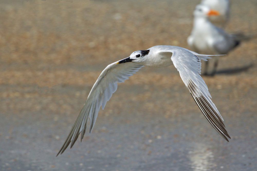 Sandwich Tern heads out to get another fish sandwich to feed the hatchling..