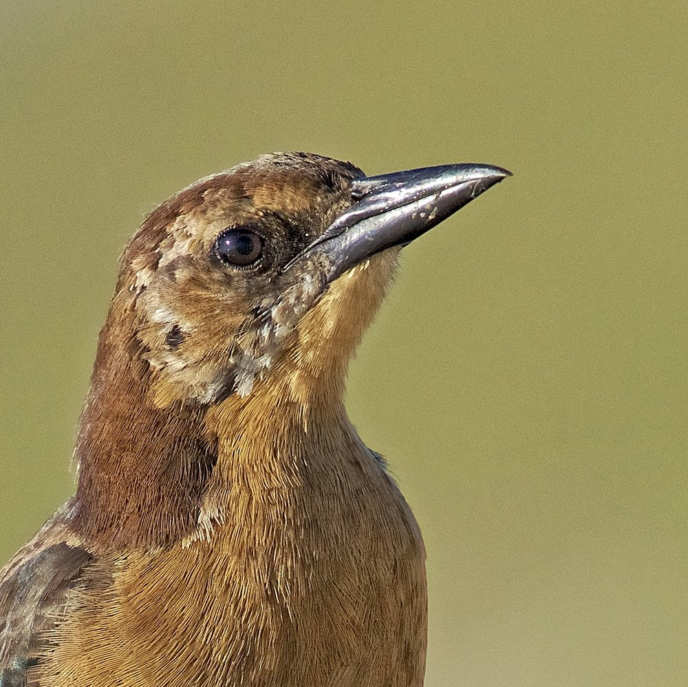 Boat-tailed Grackle (female) eyes up the Editors new Jeep